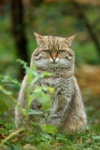 Scottish Wildcat in Natural Habitat